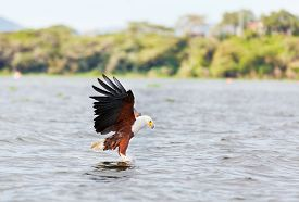 stock photo of fish-eagle  - Fish Eagle carrying catched fish in its feet - JPG