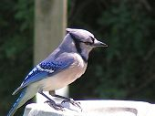stock photo of blue jay  - blue jay at our bridbath in our backyard - JPG