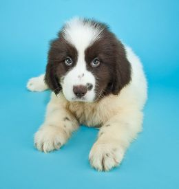 picture of newfoundland puppy  - Cute brown and white Newfoundland puppy laying on a blue background - JPG