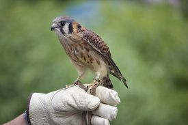 stock photo of falcons  - An American Kestrel (Falco sparverius) perching on the glove of a falconer. ** Note: Visible grain at 100%, best at smaller sizes - JPG