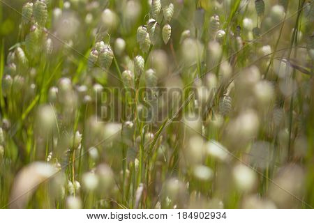 Flora Of Gran Canaria Briza