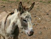 Spotted grey donkey
