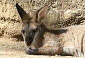 little kangaroo resting