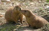 dos marmotas lindos