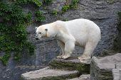 foto of schoenbrunn  - Polar bear in Vienna zoo Schoenbrunn - JPG