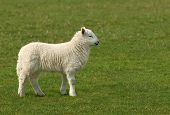 stock photo of the lost sheep  - White lamb standing alone in a field in spring - JPG