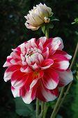 Red White Dahlia And Bulb