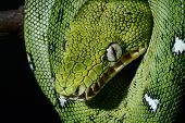 a close-up portrait of an emerald boa in the Bolivian rainforest snake amazon jungle green snake bea