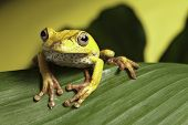 tree frog hypsiboas geografica amphibians are nocturnal endangered animals need nature conservation