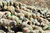 Migration Of Sheep