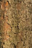 Castanea sativa is latin name of the Bark.