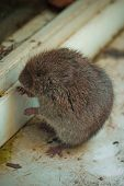 Locked Out - Vermont Woodland Vole, Microtus Pinetorum