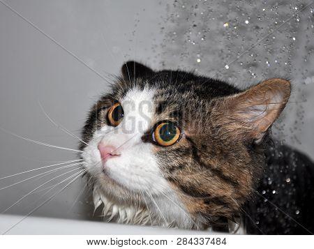 poster of Wet Cat. Funny Cat. Cat Bath. Cat Kurilian Bobtail
