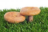 rovellons, typical autumn mushroom of Spain, on the grass