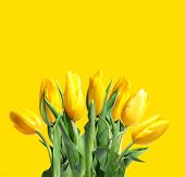Yellow tulips on a yellow background. Yellow flowers. poster