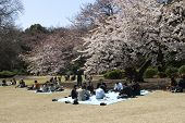 Cherry Blossom Celebration In Tokyo