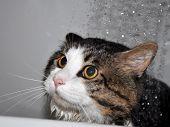 Wet Cat. Funny Cat. Cat Bath. Cat Kurilian Bobtail poster