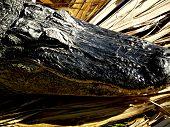 Alligator Closeup