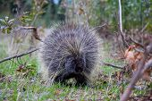 The North American Porcupine Is A Large Rodent In The New World Porcupine Family. The Beaver Is The  poster