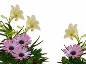 foto of easter lily  - Image composition of Purple or Lavender daisies and white lilies for background invitation or template - JPG