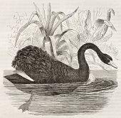 Black Swan old illustration (Cygnus atratus). Created by Kretschmer, published on Merveilles de la Nature, Bailliere et fils, Paris, ca. 1878