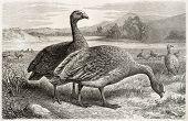 Cape Barren Goose old illustration (Cereopsis novaehollandiae grisea).By unidentified author, published on Merveilles de la Nature, Bailliere et fils, Paris, ca. 1878