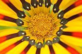 Beautiful Gazania Flower Close-up