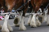 image of clydesdale  - Horse team hooves  - JPG