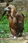 The Cinereous Vulture