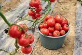 Harvest Of Ripe Tomatoes At Organic Farm. Bucket Full Of Ripe Healthy Tomato Vegetables. Agriculture poster