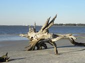stock photo of jekyll  - Driftwood Beach on Jekyll Island State Park - JPG