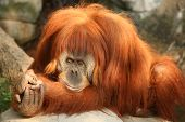 picture of memphis tennessee  - An Orangutan at the Memphis Tennessee zoo - JPG