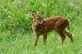Fawn White Tale Deer