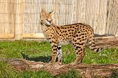 Serval Kitten Standing On Log In Sunshine