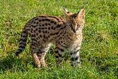 Cute Serval Kitten Standing On Grass