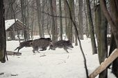 image of wild hog  - wild boar in the winter frosty forest with snow - JPG