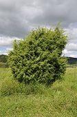 Juniper bush at Swifts Hill