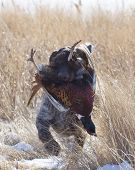 stock photo of ringneck  - Hunting dog retrieving a Rooster Pheasant in North Dakota - JPG