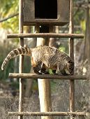 foto of omnivore  - Coatis use to be diurnal animals and live on the ground and in trees and typically live in the forest - JPG