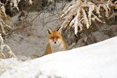 foto of rabies  - Red fox in the winter on snowy ground bellow larch - JPG