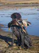 picture of pintail  - Hunting Dog holding a drake Mallard on morning duck hunt - JPG