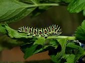Caterpillar of day time butterfly
