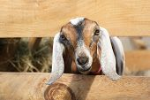 image of cashmere goat  - Cute Young Goat peeking through the fence - JPG