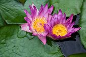 Violet Lilies Nymphaea On The Water Surface