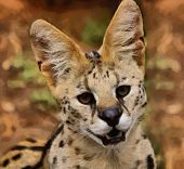 Serval African Wild Cat Portrait Painting
