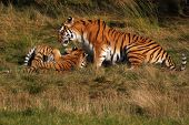 Siberian Tiger With Cubs