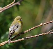Lesser Goldfinch Bird on a Branch