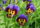 Decorative flower pansy