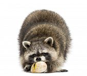 Racoon, Procyon Iotor,  standing, eating an egg, isolated on white