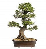 Celtis bonsai tree, latoneros, aislado en blanco